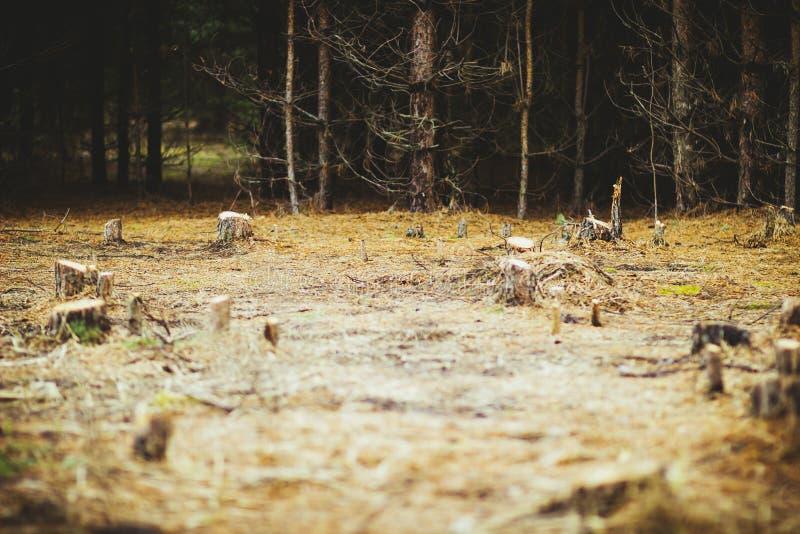 Konopie w polanie w lesie fotografia royalty free