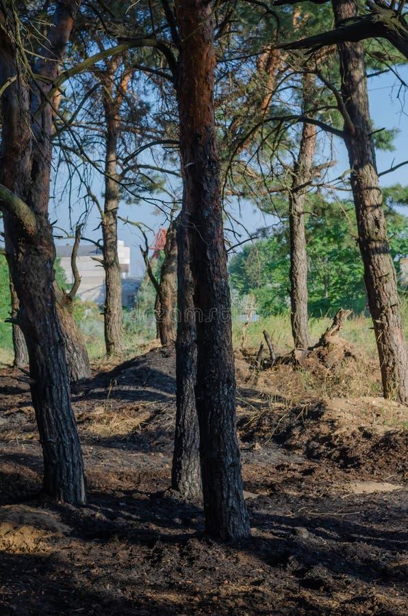 Konsekwencje mały pożar lasu Palący drzewni bagażniki i palący rożki z igłami na ziemi Bez ludzi obrazy stock