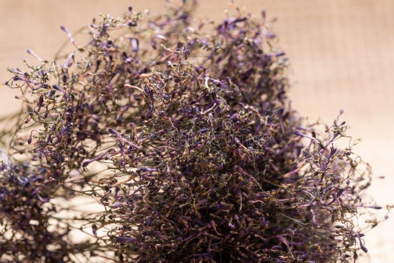 Konserviertes purpurrotes Caspia für getrockneten Blumen- oder Heiratsblumenstrauß - großes Bündel Purpurrote Blumenstrauß-Füller stockbilder