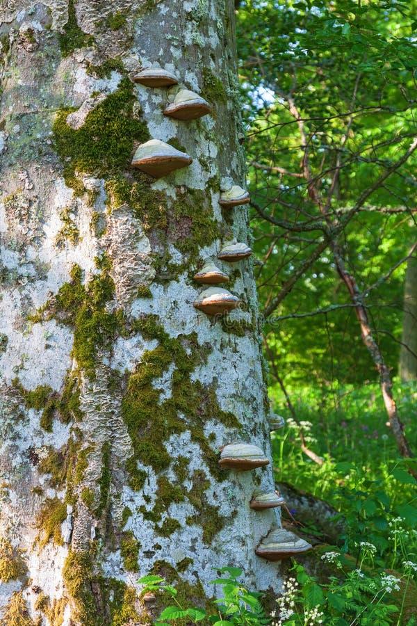 Konsolsvamp på trädstammen arkivfoto