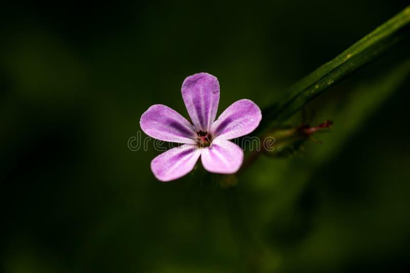 Konst för bakgrund för makro för familj för Geraniaceae för pelargonrobertianumblomma i högkvalitativa tryckprodukter femtio mega arkivfoton