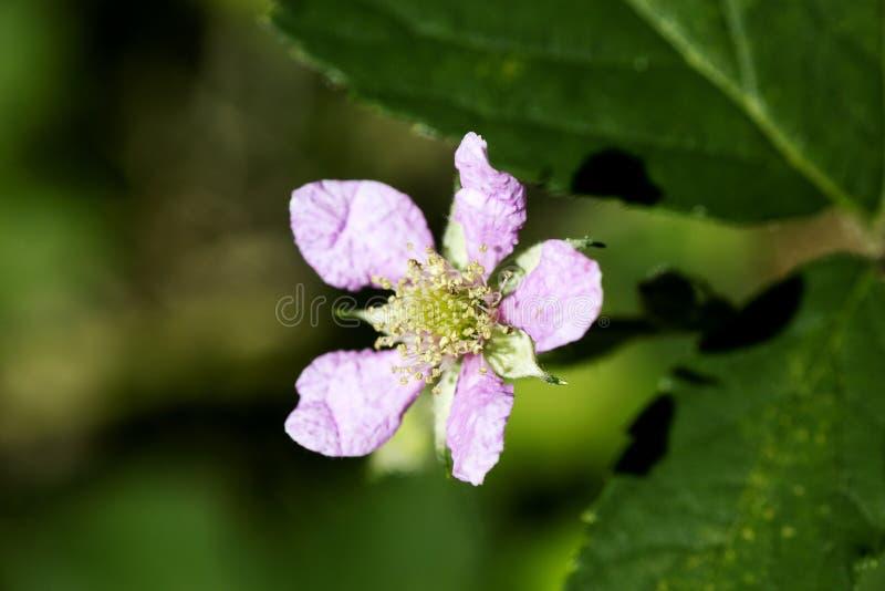Konst för bakgrund för makro för familj för Rosaceae för blommaRubusoccidentalis i högkvalitativa tryckprodukter femtio megapixel arkivfoton