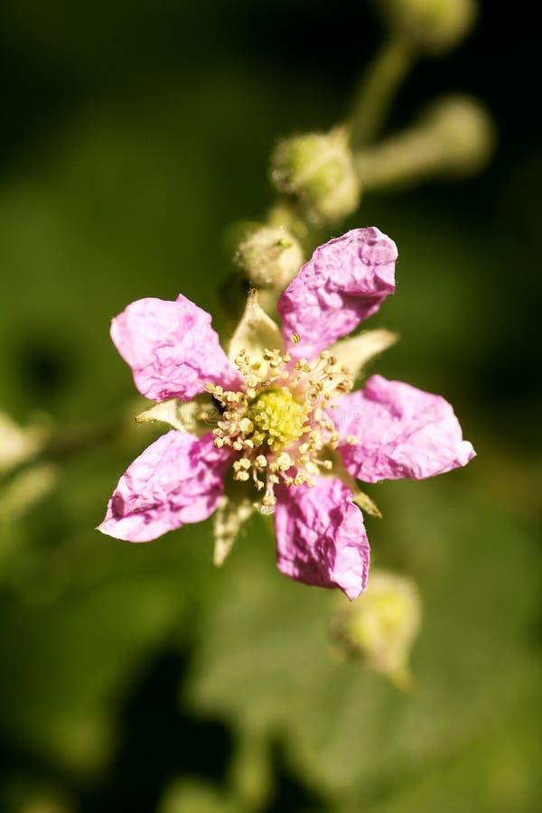 Konst för bakgrund för makro för familj för Rosaceae för blommaRubusoccidentalis i högkvalitativa tryckprodukter femtio megapixel arkivfoto
