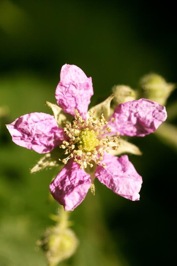 Konst för bakgrund för makro för familj för Rosaceae för blommaRubusoccidentalis i högkvalitativa tryckprodukter femtio megapixel fotografering för bildbyråer
