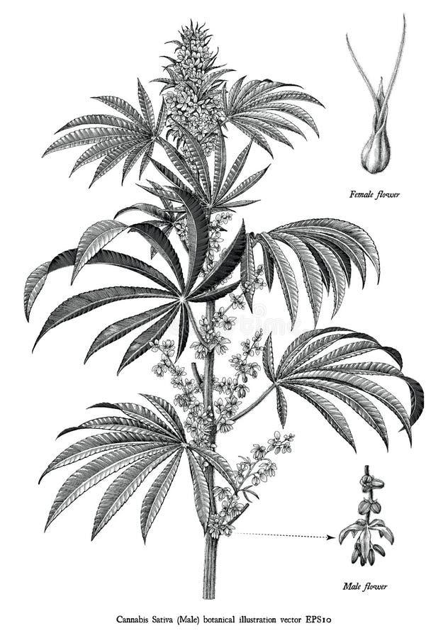 Konst för gem för sativa manlig för träd för cannabis som botanisk för tappning illustration för gravyr svartvit isoleras på vit  stock illustrationer