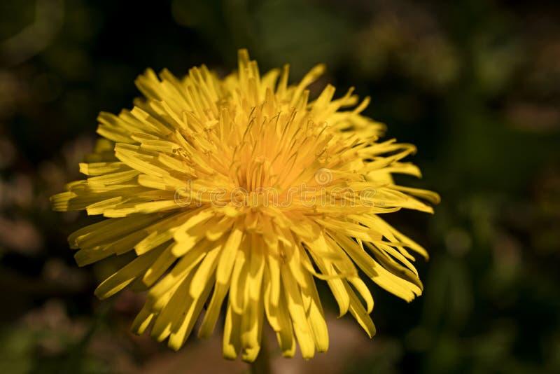Konst för tryck för gul för Taraxacumofficinalesmakro för blomma tapet för bakgrund högkvalitativ royaltyfri fotografi