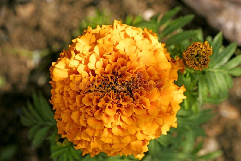 Konst f?r bakgrund f?r l?s blomma f?r Calendula i h?gkvalitativa tryckprodukter royaltyfri fotografi