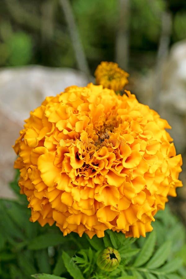 Konst f?r bakgrund f?r l?s blomma f?r Calendula i h?gkvalitativa tryckprodukter royaltyfria foton