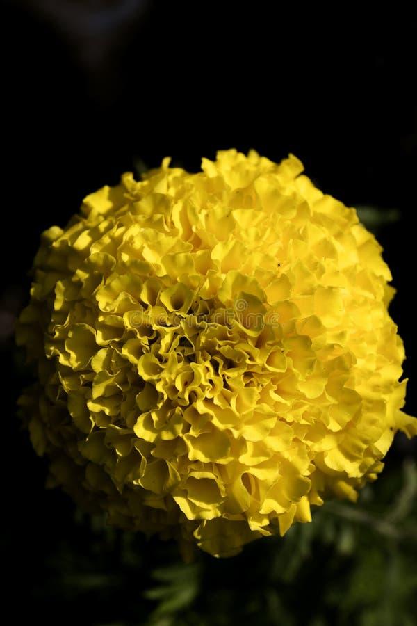 Konst f?r bakgrund f?r l?s blomma f?r Calendula i h?gkvalitativa tryckprodukter arkivbilder