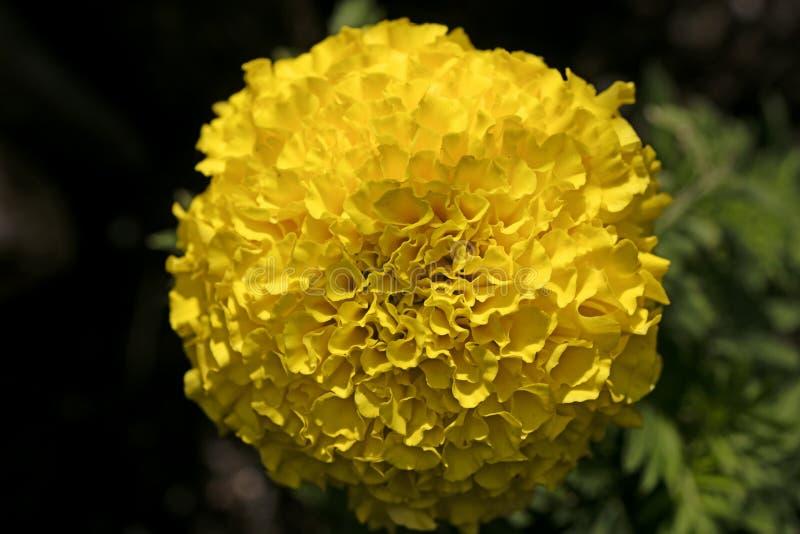 Konst f?r bakgrund f?r l?s blomma f?r Calendula i h?gkvalitativa tryckprodukter arkivfoto