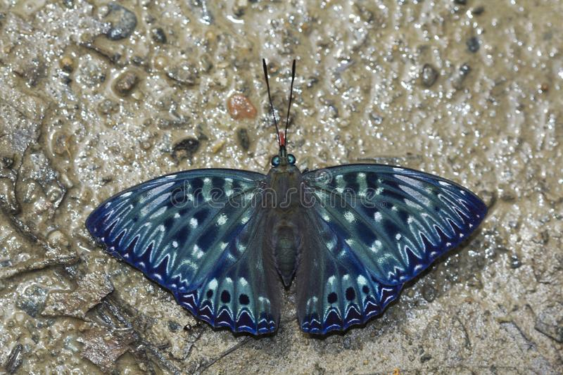 Konstabl, Dichorragia nesimachus, Namdapha tygrysa rezerwa, Arunachal Pradesh, India zdjęcie stock
