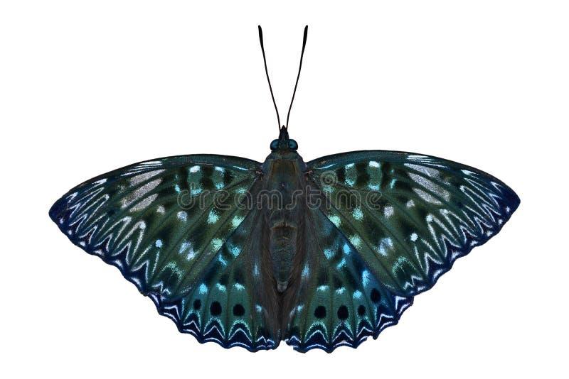Konstabla motyl zdjęcie stock