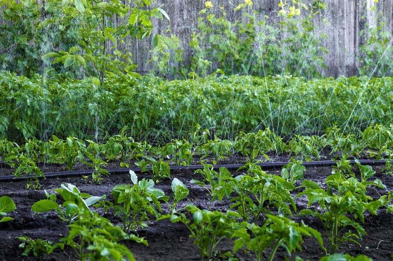 Konstgjord regnvattenbevattning av en trädgård med en ung skörd royaltyfri bild