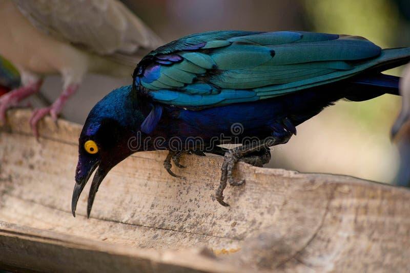 Konstig blå fågel på zoo, lamprotornis fotografering för bildbyråer