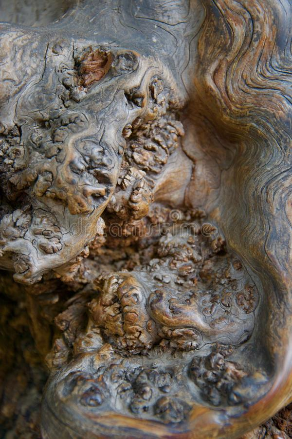 Konstiga gnarly former i polerat skinande trä som växer på ett forntida träd royaltyfri bild