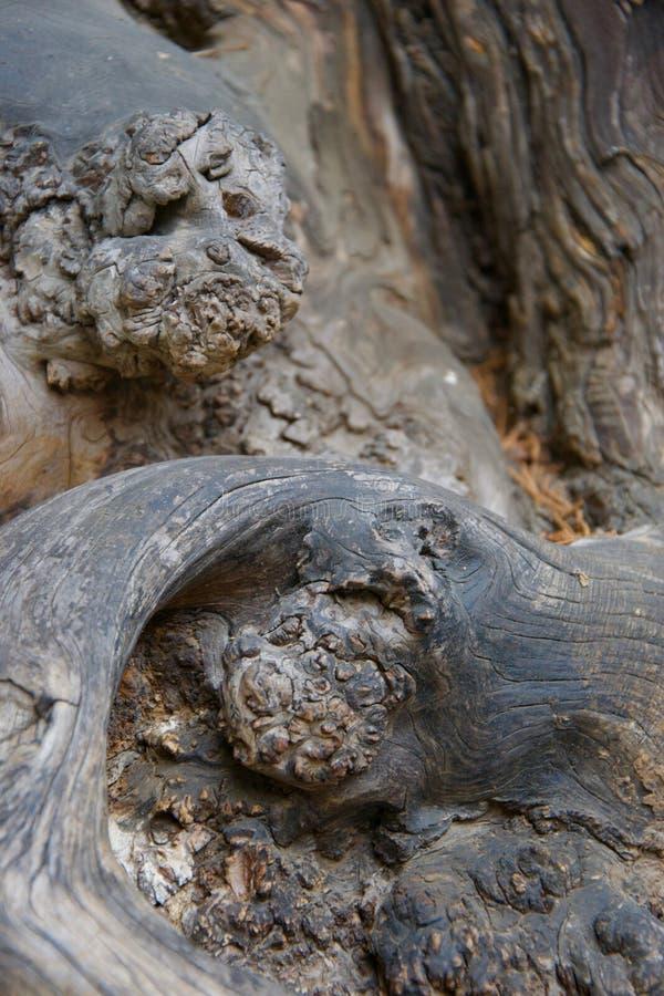 Konstiga gnarly former i polerat skinande trä som växer på ett forntida träd arkivbilder