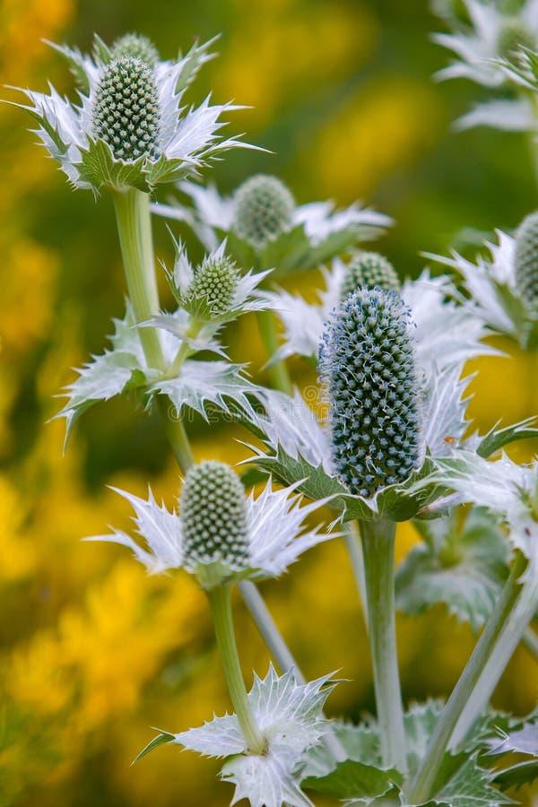 Konstiga växter eller avlånga blommor med taggiga sidor och blåa fluffiga fibrer arkivfoton