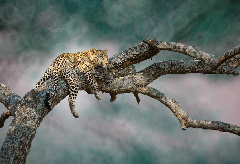 Den gäcka leoparden arkivbilder