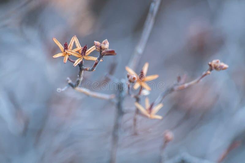 Konstnärlig closeup: Gula knoppar på filialerna av ett träd på en blå bakgrund Artistically suddig ram arkivfoton
