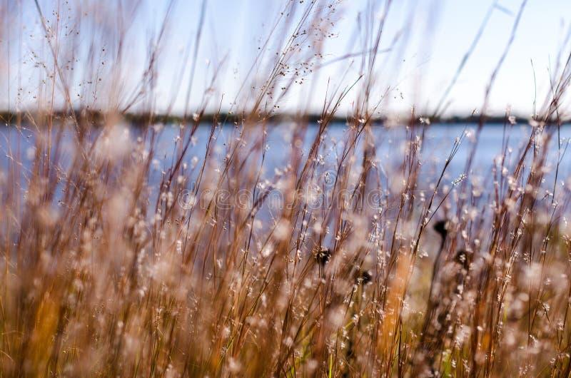 Konstnärlig fokussikt av döda gräs, vasser och vildblommor sjö i bakgrund royaltyfria foton