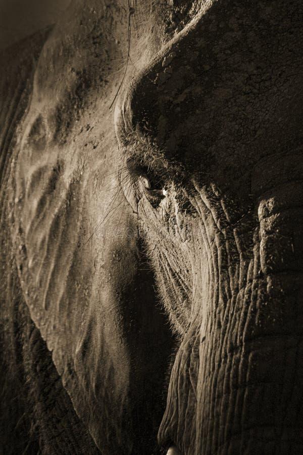Konstnärlig symmetrisk elefantstående i Sepia Tone With Dramatic Backlighting arkivbilder