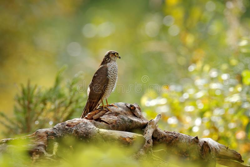 Konstsikt av naturen Härlig skog med fågeln Fåglar av roveurasianen Sparrowhawk, Accipiternisus som sitter på trädstubbe Hök mig royaltyfria foton