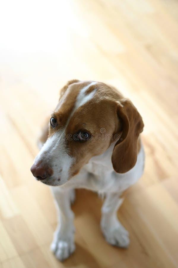 konsulterande hund arkivbild