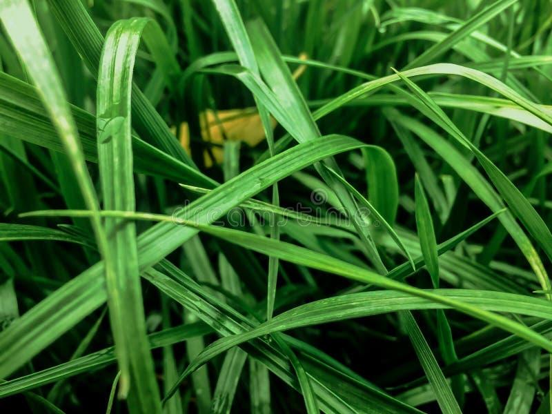Konsystencja naturalnego tła trawy ozdobnej zdjęcia stock