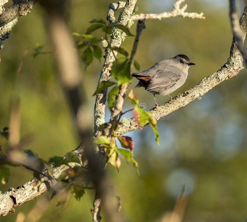 Kontakt för öga för Gray Catbird låsljus royaltyfri fotografi
