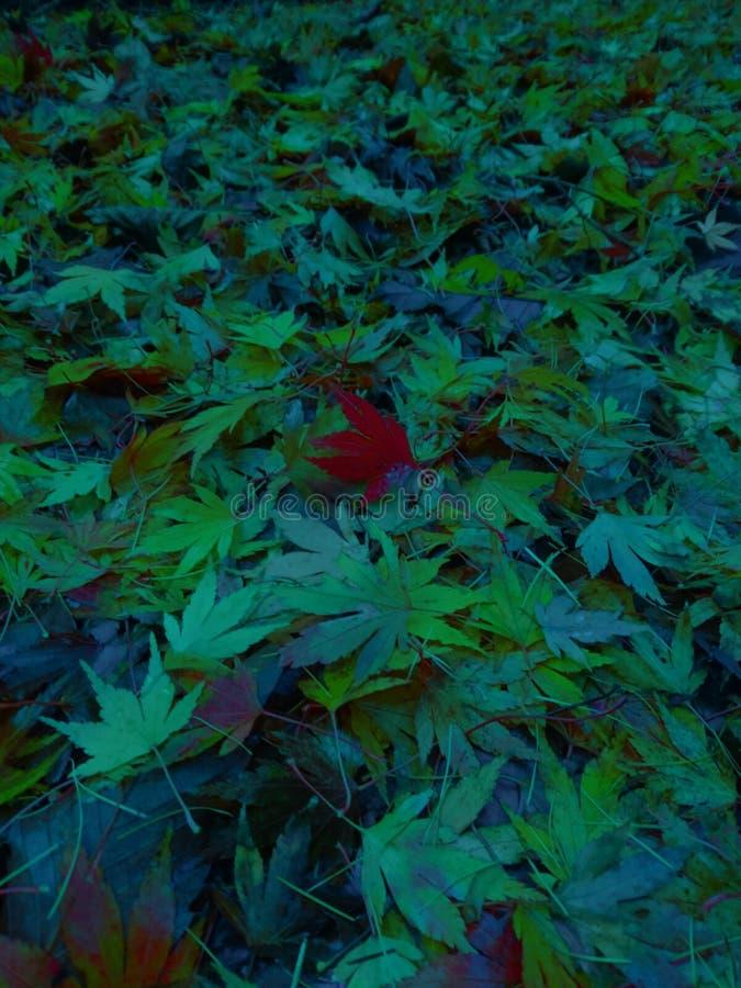 Kontrastierendes Acer Autumn Leaves lizenzfreie stockbilder