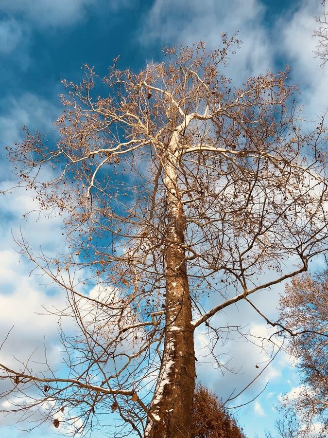 Kontrastiert schöne weiße Bäume scharf einen blauen Himmel und weißen Wolken - WINTER stockfoto