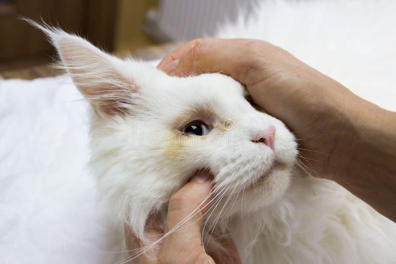 Kontroll av en vit ung Maine Coon katt som är främst av kirurgisk korrigering av medfödd vridning av ögonlocken royaltyfri fotografi