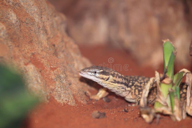 kontrollera tailed spiny royaltyfri foto