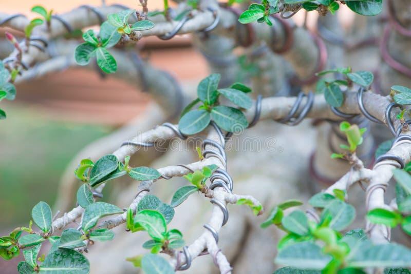 Kontrollfilialen vid tråd i bonsaistil av den Adeniumträdet eller öknen steg i blomkruka arkivbild
