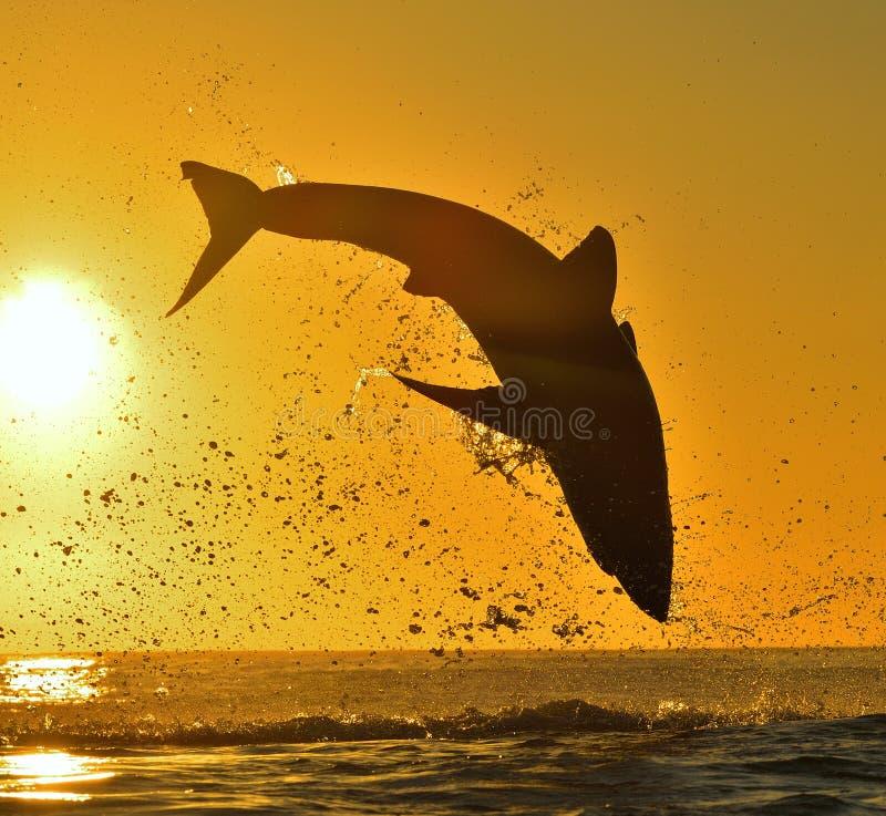 Kontur av att hoppa den stora vita hajen på röd himmelbakgrund för soluppgång royaltyfri foto