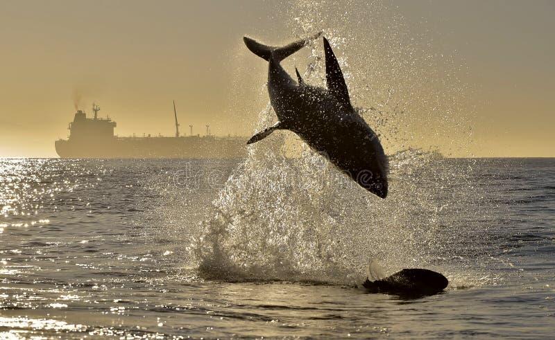 Kontur av att hoppa den stora vita hajen på röd himmelbakgrund för soluppgång arkivfoton