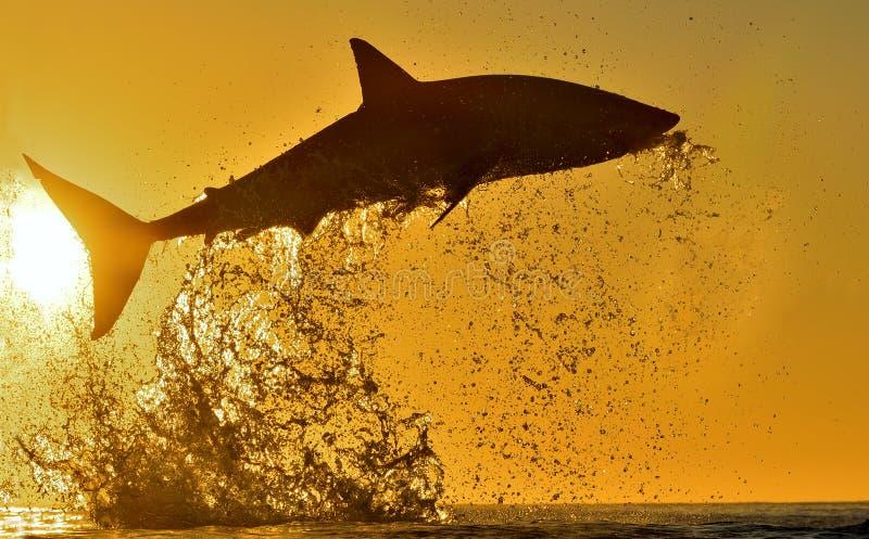 Kontur av att hoppa den stora vita hajen på röd himmelbakgrund för soluppgång Carcharodoncarcharias som bryter igenom i en attack royaltyfri fotografi