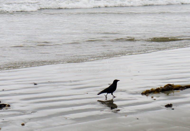 Kontur av den amerikanska galandet som går på en strand arkivbilder