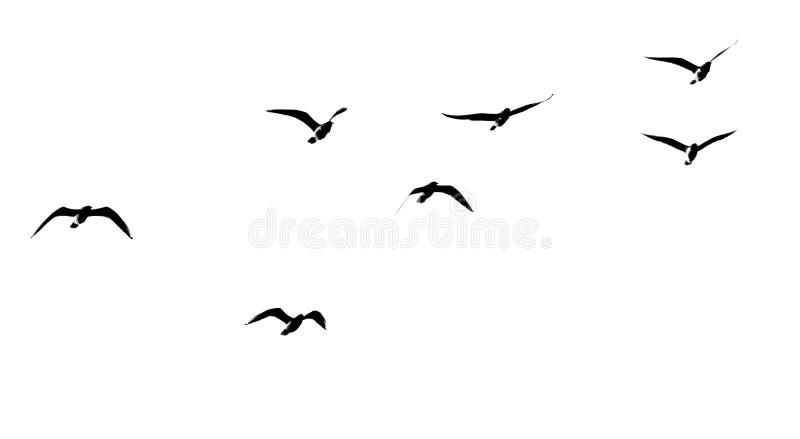 Kontur av en flock av fåglar på en vit bakgrund arkivbilder