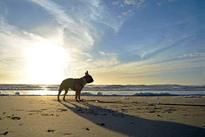 Kontur av en hund för fransk bulldogg mot härlig solnedgång på sandstranden på semestrar royaltyfri fotografi