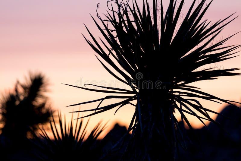 Kontur av en palmliljapalmträd på solnedgången i Joshua Tree Nationa arkivfoton