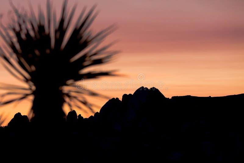 Kontur av en palmliljapalmträd på solnedgången i Joshua Tree Nationa royaltyfri fotografi