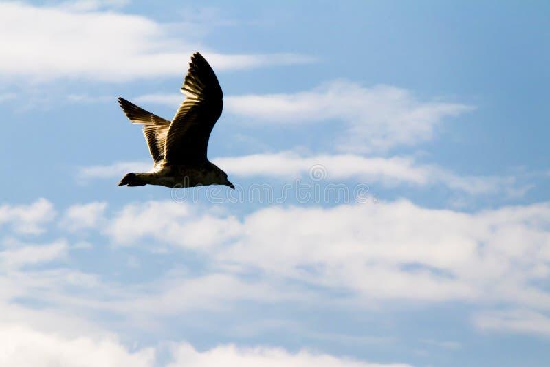 Kontur av ett seagullflyg i den ljusa blåa himlen royaltyfri foto