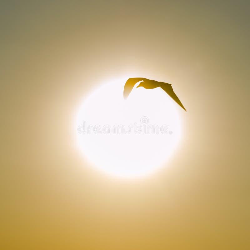 Kontur av ett seagullflyg på solnedgången fotografering för bildbyråer