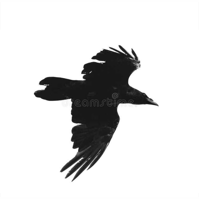 Kontur av ett svart galandefågelflyg mot en isolerad vit fotografering för bildbyråer