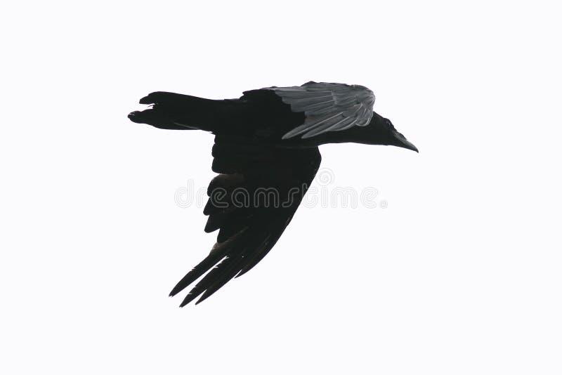 Kontur av ett svart galandefågelflyg mot en isolerad vit arkivbild