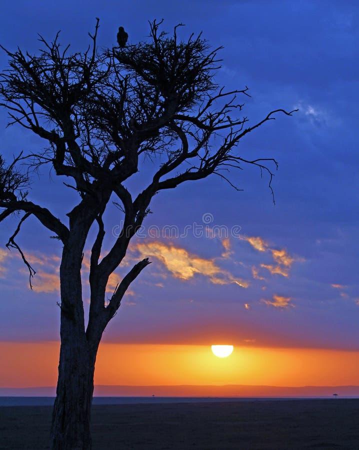 Kontur av ett träd i masaien mara med en blått- och apelsinhimmel arkivbild