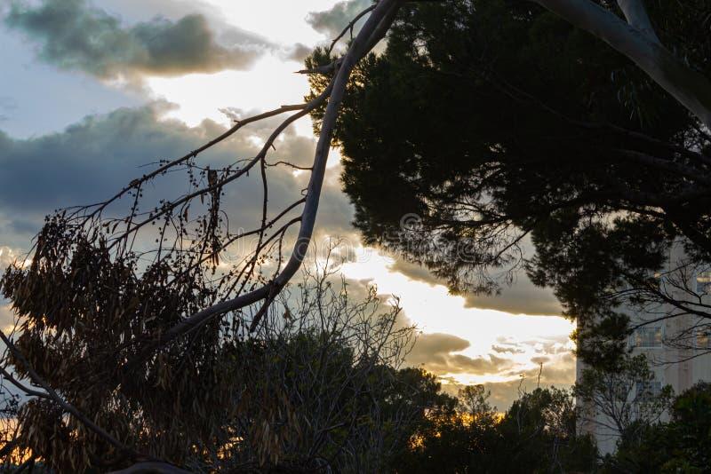 Kontur av eukalyptuns och att sörja trädfilialer mot guld- solnedgånghimmel arkivbild