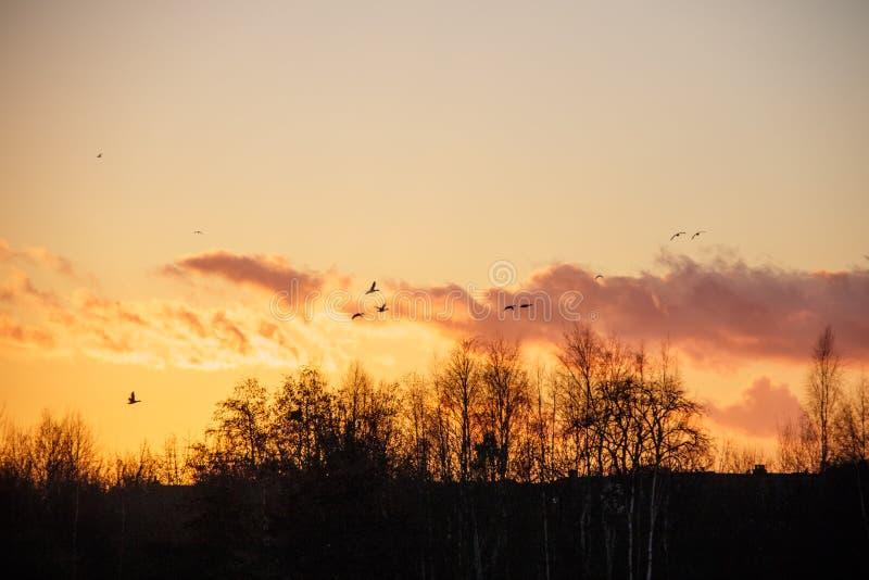 Kontur av fågelvildfågelgäss som flyger av för att roost på solnedgången arkivfoto