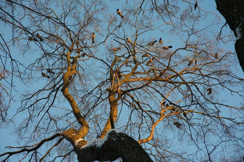 Kontur av gemensamt korpsvart sammanträde på ett träd royaltyfri fotografi